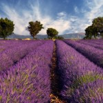 Lavender Field Provence, France