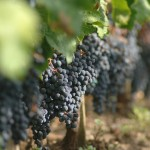 Grapes in a Pomerol Vineyard