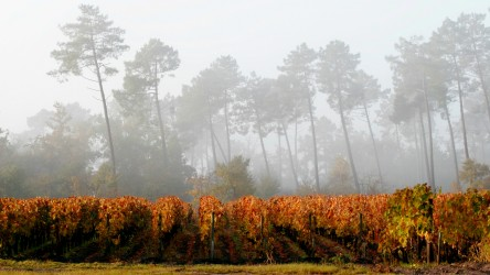 Bordeaux Vines in the Fall