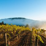 Failla Vineyard in the fog