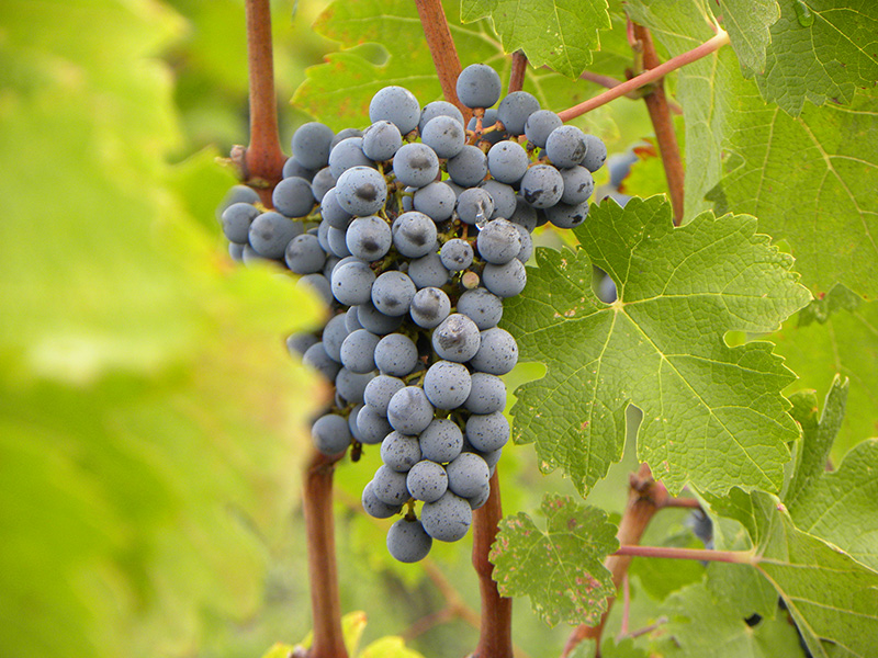 Grapes Millesima Tips