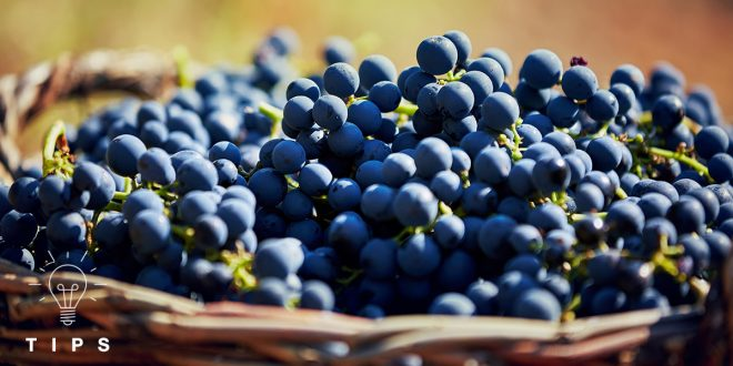 #3 Millesima Tips | Wine Harvest : What, When & How?
